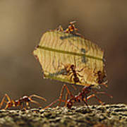 Leafcutter Ant Atta Sp Group Carrying Poster