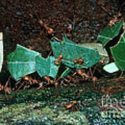 Leafcutter Ants Poster