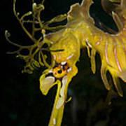 Leafy Sea Dragon Poster by Matthew Oldfield