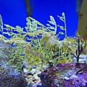 Leafy Seadragon Phycodurus Eques At The Poster by Stuart Westmorland
