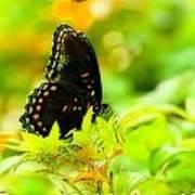 Lemon Lime Butterfly Poster