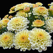 Lemon Meringue Chrysanthemums Poster