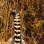 Lemur Tail Poster