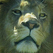 Leo,lion Poster