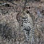 Leopard Hunt Poster