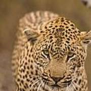 Leopard Panthera Pardus, Arathusa Poster
