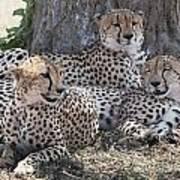 Leopards, Kenya, Africa Poster