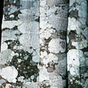 Lichen On Cinnamon Trees Poster by Georgette Douwma