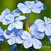 Light Blue Plumbago Flowers Poster by Carol Groenen