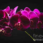 Light Painted Orchids Poster