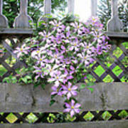Lilac Clematis Flower Vine Basking In Sun Rays On A Wood Garden Arbour Poster