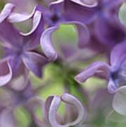 Lilac Syringa Sp Flower, Close Poster