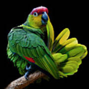 Lilacine Amazon Parrot Isolated On Black Backgro Poster