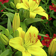 Lilies (lilium 'limelight') Poster