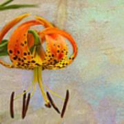 Lilium Pardalinum Poster