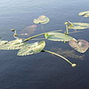 Lilly Pads Adrift Poster