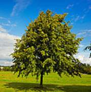 Lime Tree In Summer Poster