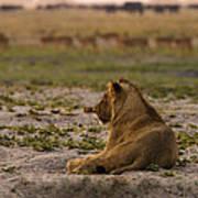 Lion Lazy Poster