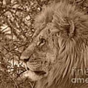 Lion Of Chobe Poster
