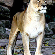 Lioness At Attention Poster