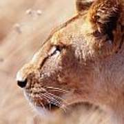 Lioness Staring Intently At Passing Poster