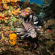 Lionfish, Fiji Poster