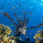 Lionfish Foraging Amongst Corals Poster