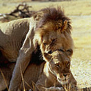 Lions Mating Poster