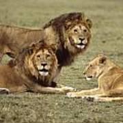 Lions Tanzania Poster