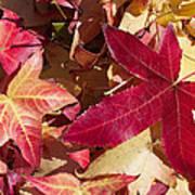 Liquidambar Autumn Poster