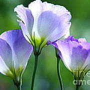 Lisianthus Number 5 Poster