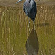 Little Blue Heron Assateague Island Poster
