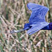 Little Blue Heron In Flight Poster