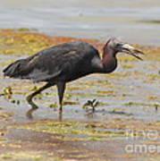 Little Blue Heron In Swamp Poster