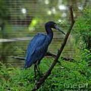 Little Blue Heron Portrait Poster