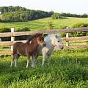 Little Horses At Pasture Poster