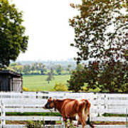 Little Jersey Cow Poster by Stephanie Frey