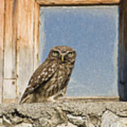 Little Owl Athene Noctua On Window Poster