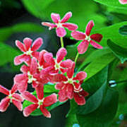 Little Pink Chinese Honeysuckle Flowers  Poster