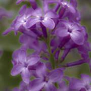 Little Purple Flowers Poster
