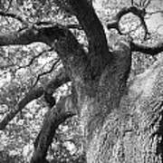 Live Oak Poster by Waverley Manson
