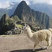 Llama And Machu Picchu Poster