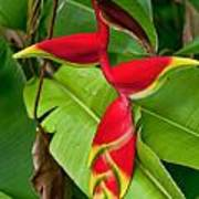 Lobster Claw Heliconia Poster