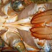Lobster Male Sex Organs Poster