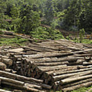 Logs In Logging Area, Danum Valley Poster
