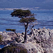 Lone Cypress By The Sea Poster