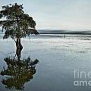 Lone Cypress Tree In Water.  Poster