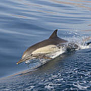 Long-beaked Common Dolphin Delphinus Poster