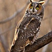 Long-eared Owl Poster