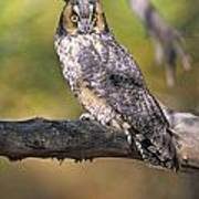Long Eared Owl On Branch Poster